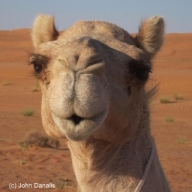 Sufi, the camel. Thank you to John Danalis for the inspiration of his camel image from Oman.